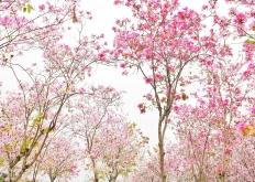 花都开好了!广州天河超美大片来袭