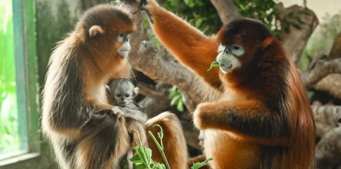 广州新生川金丝猴宝宝与游客见面