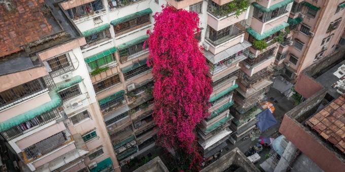 花如飞瀑!广州白云一树簕杜鹃直攀九楼