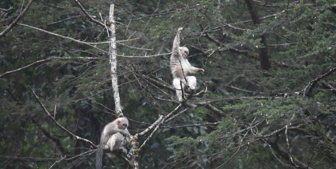 """云南""""雪山精灵""""滇金丝猴"""