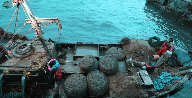 青岛胶州湾:渔民恢复贝类底播作业