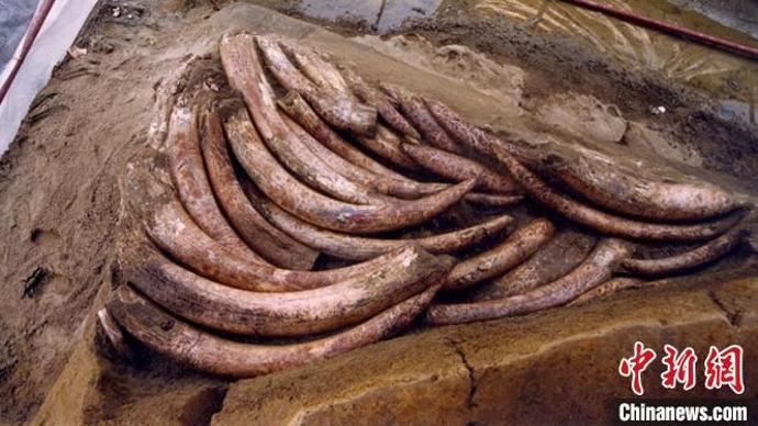 三星堆祭祀坑出土超120根象牙
