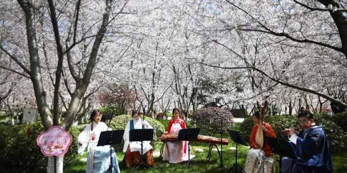中国药科大学开启校园樱花节 师生共享盎然春意