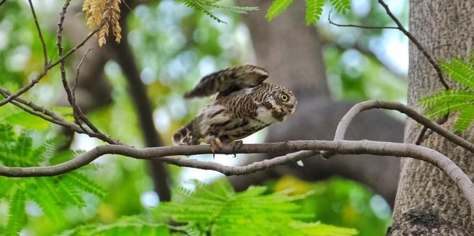 一对猫头鹰在广州天河公园卖萌