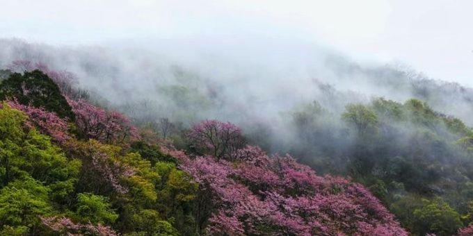 美不胜收!我国最大野生紫荆群落在唐家河盛开
