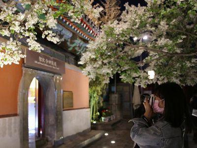 北京智化寺開放清明賞花夜場