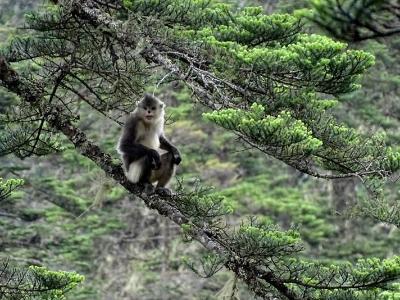滇金丝猴 峡谷中的精灵