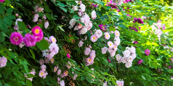 上海嘉定:12公里蔷薇花墙等你来打卡