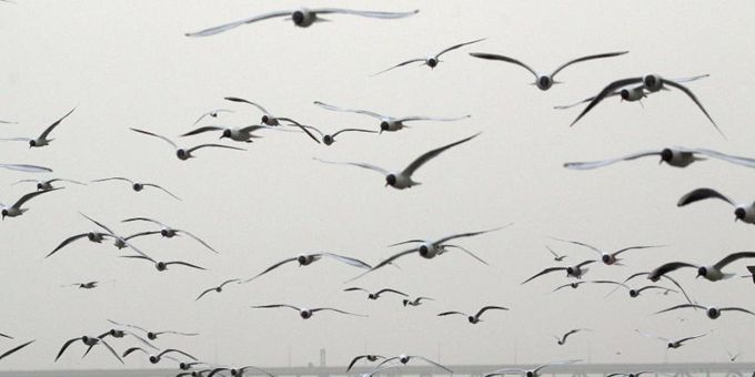 哈尔滨红嘴鸥聚集 大风中觅食场面壮观