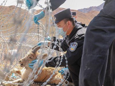 新疆青河:民警救助西伯利亚北山羊