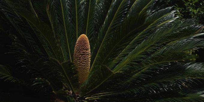 云南昆明:铁树开花