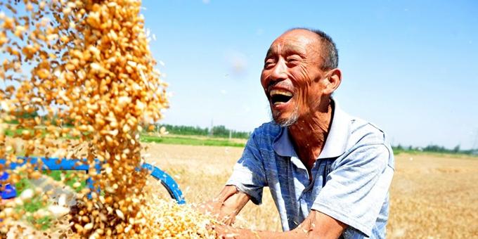 苏北小麦陆续开镰 农民喜迎丰收季