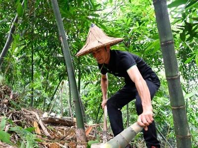 广西柳州:夏日甜竹笋收获上市