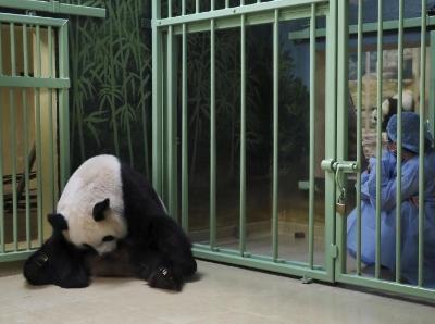 """旅法大熊猫""""欢欢""""进入待产状态 看护员严密守护"""