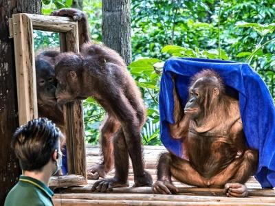 丛林智者猩猩,科普课堂显本领