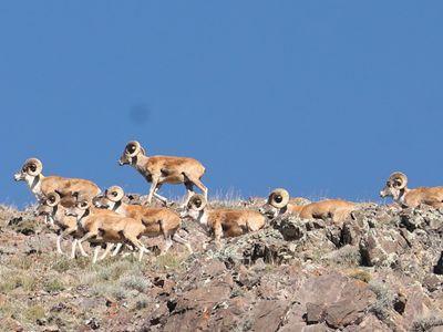新疆双河:盘羊聚集