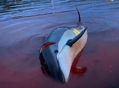触目惊心!丹麦举行捕猎活动近1500只白边海豚遭屠杀