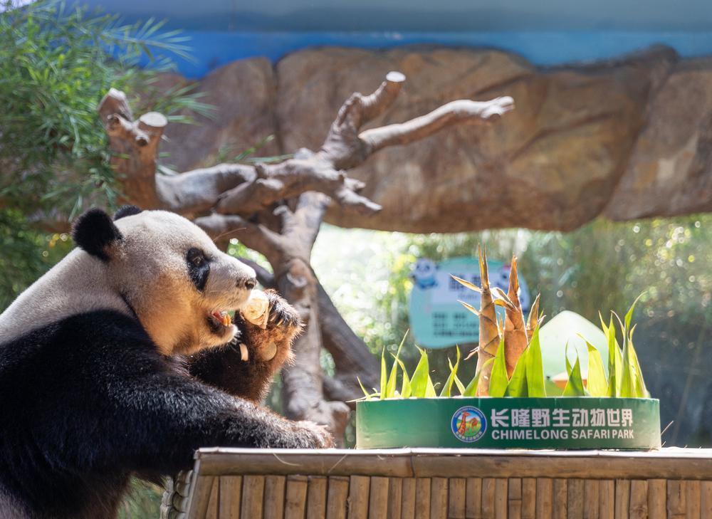 """迎中秋,在长隆:与熊猫""""萌帅酷""""猜灯谜、吃月饼"""