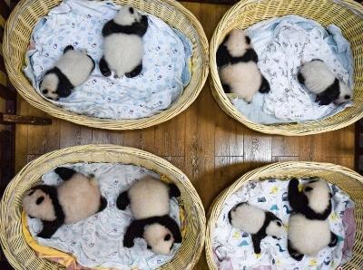 四川阿坝2021年出生8只大熊猫幼崽首次同框留影