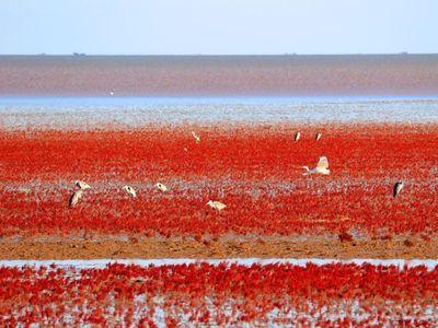 """黄河入海口滩涂湿地成""""红地毯"""""""